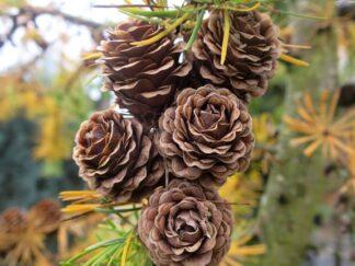 Лиственница японская, семена
