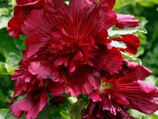 Штокроза садовая 'Spring Celebrities Crimson'