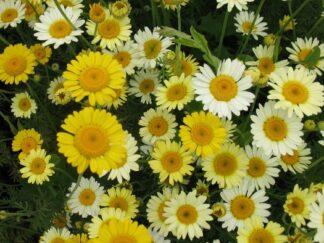 Антемис желтый