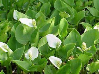 Белокрыльник (Калла) болотный