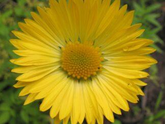 Гайлардия остистая 'Aurea Pura', семена