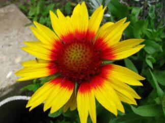 Гайлардия, серия крупноцветковая 'Mesa Bright Bicolor', семена