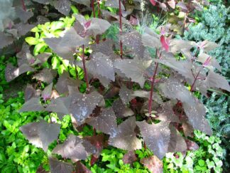 Лебеда садовая, форма с красными листьями, семена