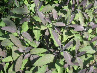 Шалфей лекарственный 'Purpurea'