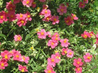 Солнцецвет гибридный 'Georgeham'