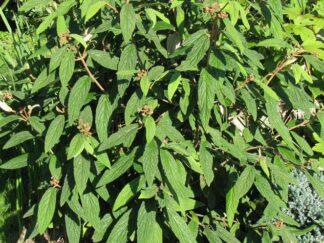 Калина морщинистолистая, семена
