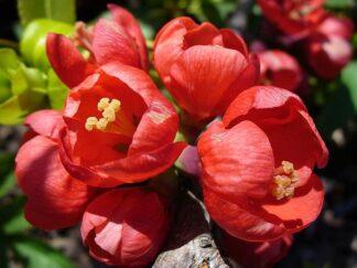 Айва японская (хеномелес) Маулея, семена