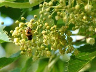 Липа Генри, семена