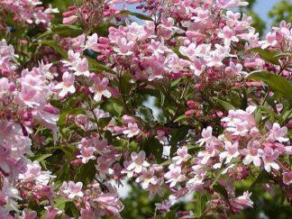 Кольквиция приятная 'Pink Cloud', семена