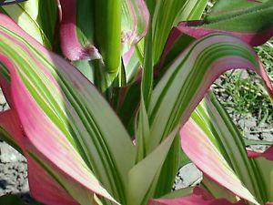 Кукуруза 'Japonica Variegata', семена