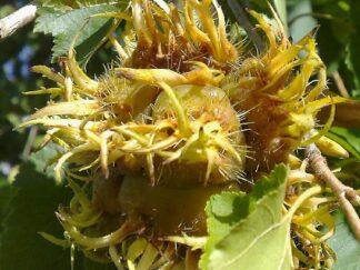 Лещина древовидная, семена