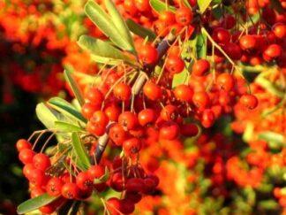 Пираканта ярко-красная 'Orange Glow', семена