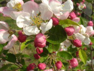 Яблоня 'Evereste', семена