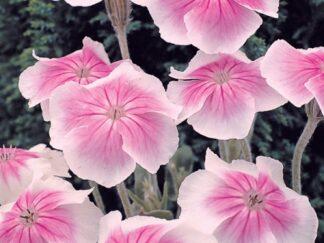Лихнис (Зорька) корончатый 'Angel's Blush', семена