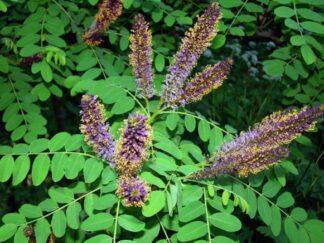 Аморфа кустарниковая, семена