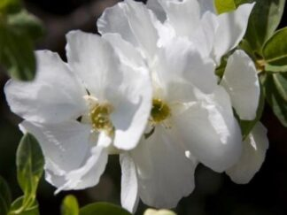Экзохорда крупноцветковая 'The Bride', семена