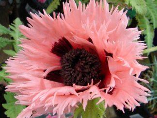 Мак восточный 'Pink Ruffles', семена