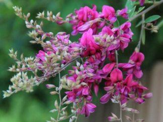 Леспедеца двуцветная, семена