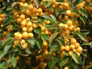 Яблуня декоративна 'Golden Hornet'