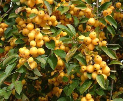 Яблоня декоративная 'Golden Hornet'