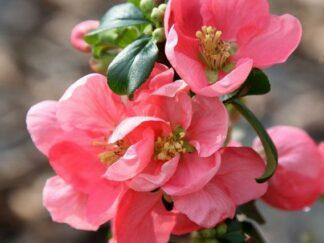 Айва средняя 'Pink Lady'