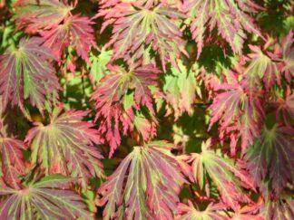 Клен японский 'Aconitifolium', семена