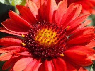 Гайлардия остистая 'Arizona Red Shades', семена