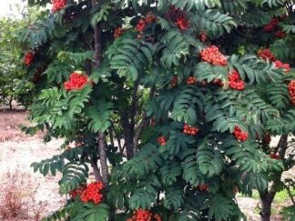 Рябина обыкновенная 'Fastigiata', семена