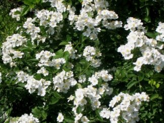 Роза многоцветковая 'Alba'