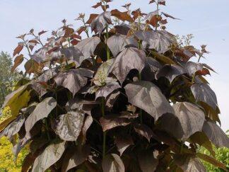 Катальпа краснеющая 'Purpurea', семена