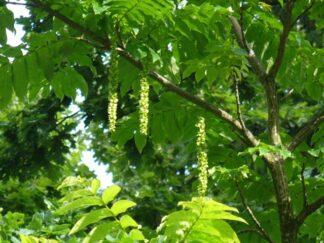 Лапина ясенелистая, Птерокария, семена