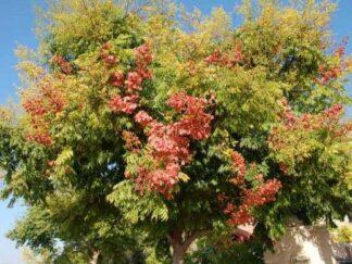 Кёльрейтерия метельчатая, Мыльное дерево, семена