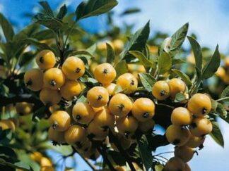 Яблоня ягодная 'Siberian Gold', семена