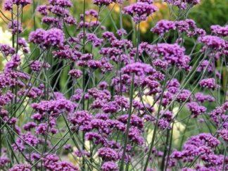 Вербена буэнос-айресская, семена