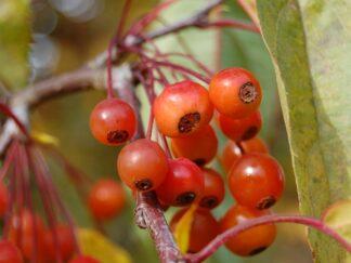 Яблоня Зибольда, семена