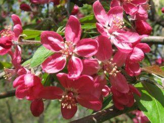 Яблоня Недзвецкого, семена