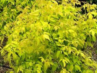 Клен ясенелистый'Odessanum', семена