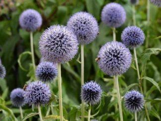 Мордовник обыкновенный 'Taplow Blue', семена