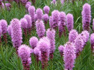 Лиатрис колосковая 'Kobold',  семена