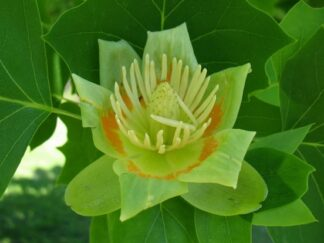Лириодендрон тюльпановый, Тюльпанное дерево, семена