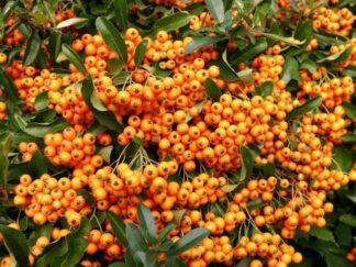 Пираканта ярко-красная 'Orange Charmer', семена