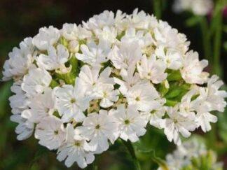 Лихнис халцедонский 'Alba', семена