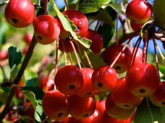 Яблуня хубейська