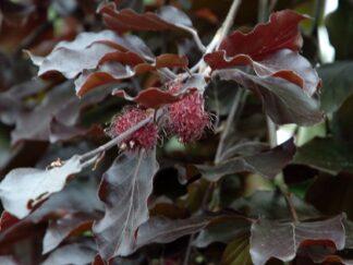 Бук лесной 'Purpurea', семена