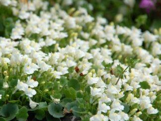Цимбалярия бледная 'Albiflora'