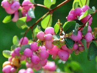 Снежноягодник Доренбоза 'Magic Berry'