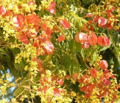 Кёльрейтерия метельчатая, Мыльное дерево