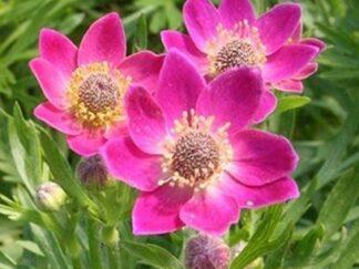 Анемона многонадрезная 'Rubra', семена
