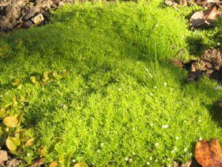 Мшанка шиловидная 'Aurea', Ирландский мох