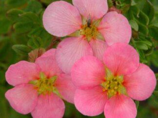 Перстач чагарниковий 'Pink Beauty'